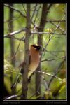 Cedar Waxwing II by Bladewing-Flash