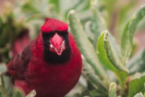 Cardinal's Closeup by Broadwinger
