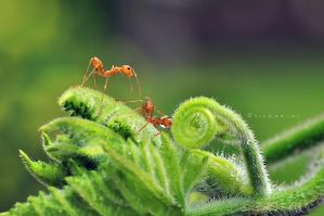 Red Ant and Friend by hirza
