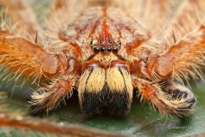 Orange Huntsman by melvynyeo