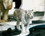 White Tiger by Dracoart-Stock