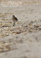Sandpiper 01 by Vand3r