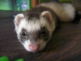 Ferret Stock 3 by Dingelientje-stock