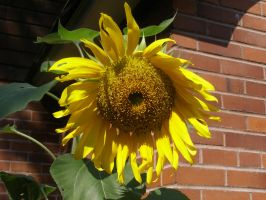 Sunflower by avicados