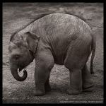 Elephant by TheForestMan