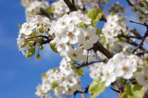 white cherry blossom 2 by theonlysong
