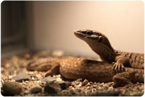 Spiny-tailed monitor by OrangeRoom