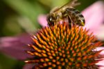 A bee on a Echinacea by Achumus