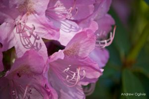 Rhododendron - 04 by PrimalOrB