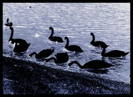 'black' swans by keryneja