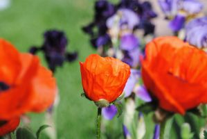 Poppy Group 1 by Tyyourshoes