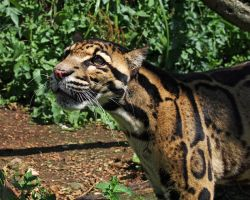 Clouded Leopard 1 by SnowPoring
