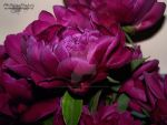 Peonies by AWDesignsPhotography
