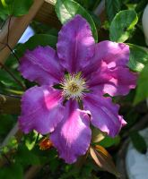 June Clematis 2 by Forestina-Fotos