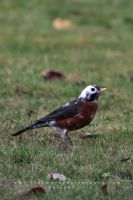 Piebald Robin by andras120