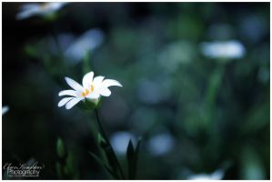 Little flower by Clerdy