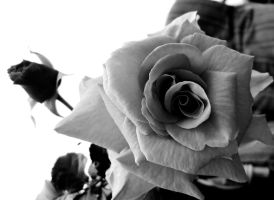 Roses, Black and White by O-Tripp
