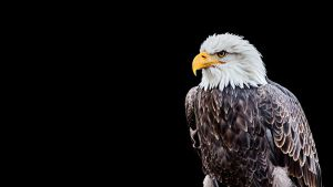 bald eagle by PhotographyChris
