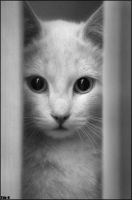 White cat by Tim-U