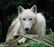 Arctic wolf: sad soul by woxys