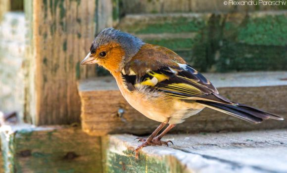 Common chaffinch by AlecsPS
