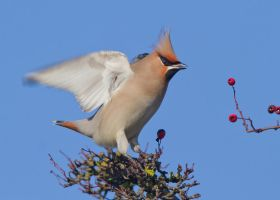 Not many berries left - Bohemian Waxwing by Jamie-MacArthur
