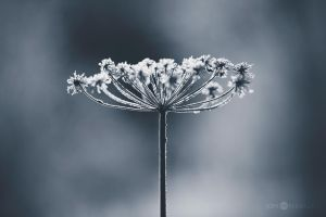 Frosty Cow Parsley by JoniNiemela