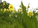 Dafodils by dubiousethic