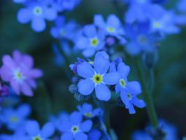Forget-me-not by annie812