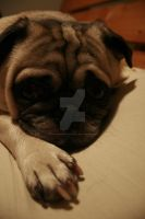 Pug by phaseonemediaproduct