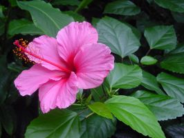 Hibiscus Pink Flower by Enchantedgal-Stock