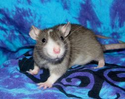 rackets whiskers by ratpackrattery