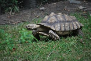 spur-thighed tortoise 1.2 by meihua-stock