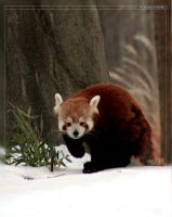 Red Panda: Ferocious Stalker by Flame-of-the-Phoenix