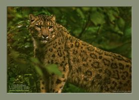 Snowleopard in deep forest by Lupinicious
