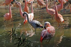 Pink flamencos 2 by LucieG-Stock