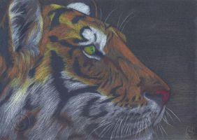 Bengal Tiger on the Prowl by Tigerherz