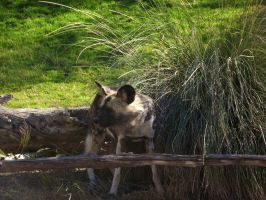 African Wild Dog by IcejCat