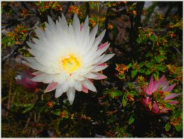Capetown Flower SA by Jenvanw