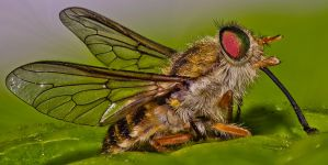 Portrait Of A MarchFly. by no-soap-was-harmed