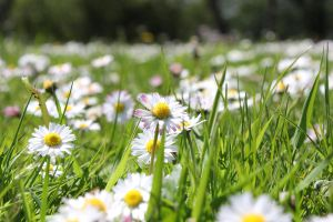 Field of Daisies by StuartVinton