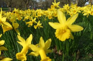 plants,spring flowers ,daffs by Sceptre63