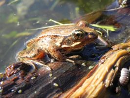 Little Brown Frog by Samela7