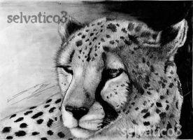 Cheetah by selvatico3
