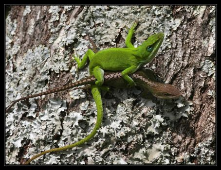 Green Anoles 40D0004353 by Cristian-M