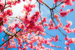 Plum blossoms 1 by juju--juju