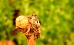 jumping spider 5 by Prototyps
