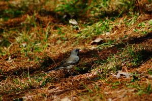 Dark-eyed Junco by ohmyhii
