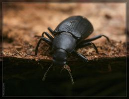 Ground Beetle 20D0047485 by Cristian-M
