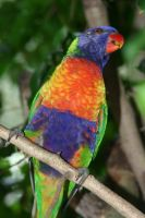 Catch the Rainbow, a lory by lynjupiter